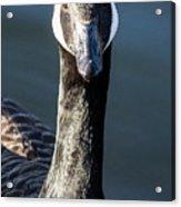 Portrait Of A Canada Goose Acrylic Print