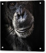 Portrait Of A Chimpanzee Acrylic Print