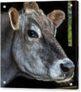 Portrait Of A Cow Acrylic Print