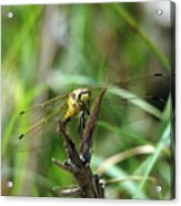 Portrait Of A Dragonfly Acrylic Print