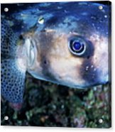 Portrait Of A Freckled Porcupinefish Acrylic Print
