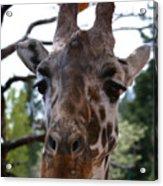Portrait Of A Giraffe Acrylic Print