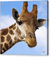 Portrait Of A Giraffe On The Background Of Blue Sky. Acrylic Print