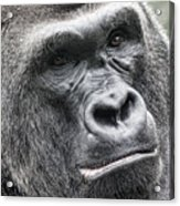 Portrait Of A Gorilla Acrylic Print by Jeff Swanson