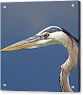 Portrait Of A Great Blue Heron Acrylic Print