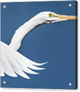 Portrait Of A Great Egret Acrylic Print