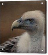 Portrait Of A Griffon Vulture Acrylic Print