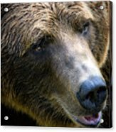 Portrait Of A Grizzly Acrylic Print