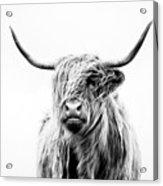 Portrait Of A Highland Cow Acrylic Print