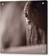 Portrait Of A Horse Kentucky Acrylic Print