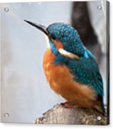 Portrait Of A Kingfisher Acrylic Print