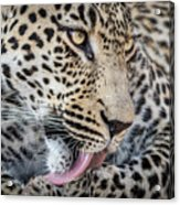 Portrait Of A Leopard Acrylic Print