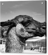 Portrait Of A Llama Mafia Leader Acrylic Print