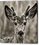 Portrait Of A Male Deer II Acrylic Print