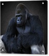 Portrait Of A Male Gorilla Acrylic Print