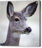 Portrait Of A Mule Deer Acrylic Print