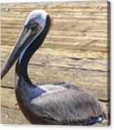 Portrait Of A Pelican Acrylic Print