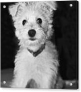 Portrait Of A Puppy In Black And White Acrylic Print
