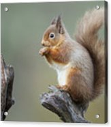 Portrait Of A Red Squirrel  Acrylic Print