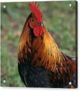 Portrait Of A Rooster Acrylic Print