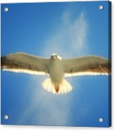 Portrait Of A Seagull Acrylic Print