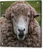 Portrait Of A Sheep Acrylic Print