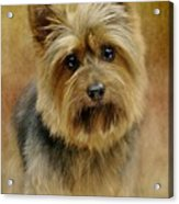 Portrait Of A Silky Terrier Acrylic Print by Stephanie Calhoun
