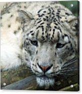 Portrait Of A Snow Leopard Acrylic Print