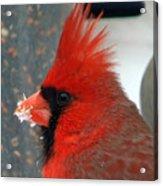 Portrait Of A Snowy Cardinal Acrylic Print