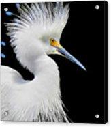 Portrait Of A Snowy White Egret Acrylic Print