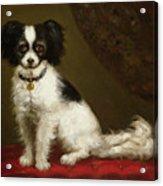 Portrait Of A Spaniel Acrylic Print