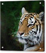 Portrait Of A Tiger Acrylic Print