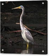 Portrait Of A Tri-colored Heron Acrylic Print