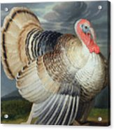 Portrait Of A Turkey  Acrylic Print