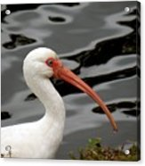 Portrait Of A White Ibis Acrylic Print