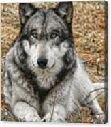 Portrait Of A Wolf Acrylic Print