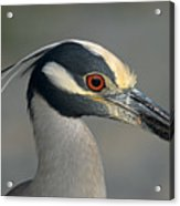 Portrait Of A Yellow Crowned Heron Acrylic Print