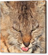 Portrait Of A Young Bob Cat 02 Acrylic Print by Wingsdomain Art and Photography