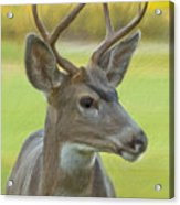 Portrait Of A Young Buck Acrylic Print