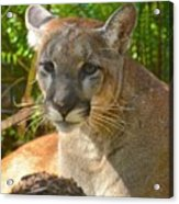 Portrait Of A Young Florida Panther Acrylic Print
