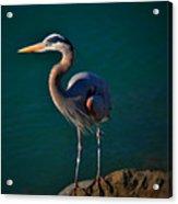 Portrait Of An Heron Acrylic Print