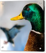 Portrait Of Duck 2 Acrylic Print by Bob Orsillo