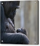 Portrait Of Gorilla Mother Looking Acrylic Print