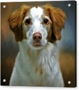 Portrait Of Gracie Acrylic Print by Stephanie Calhoun