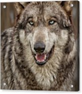 Portrait Of Gray Wolf Acrylic Print