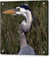Portrait Of Great Blue Heron Acrylic Print