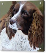 Portrait Of Jesse - Springer Spaniel Acrylic Print