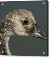 Portrait Of Month Old Canada Goose Gosling Acrylic Print