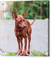 Portrait Of Red Miniature Pinscher Dog Acrylic Print
