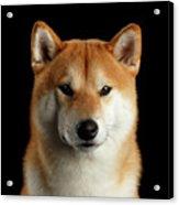 Portrait of Shiba inu Acrylic Print